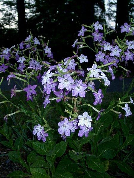 Plants For A Moonlight Garden